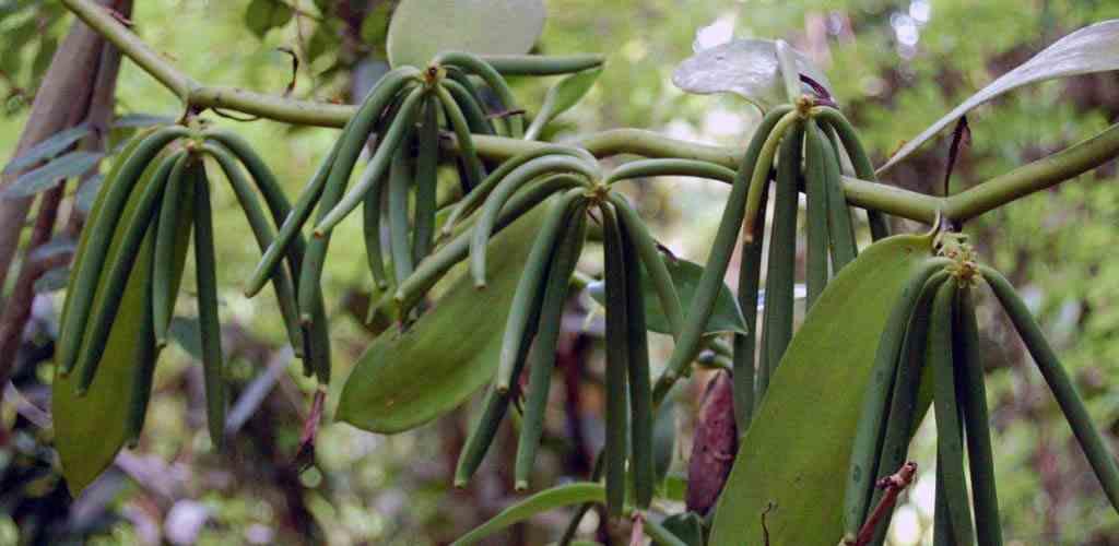 Vanilin; vanilya bitkisinin meyvelerinden üretilir. İşte bu meyveler ileride yiyeceğiniz tüm tatlılara girecek şey.